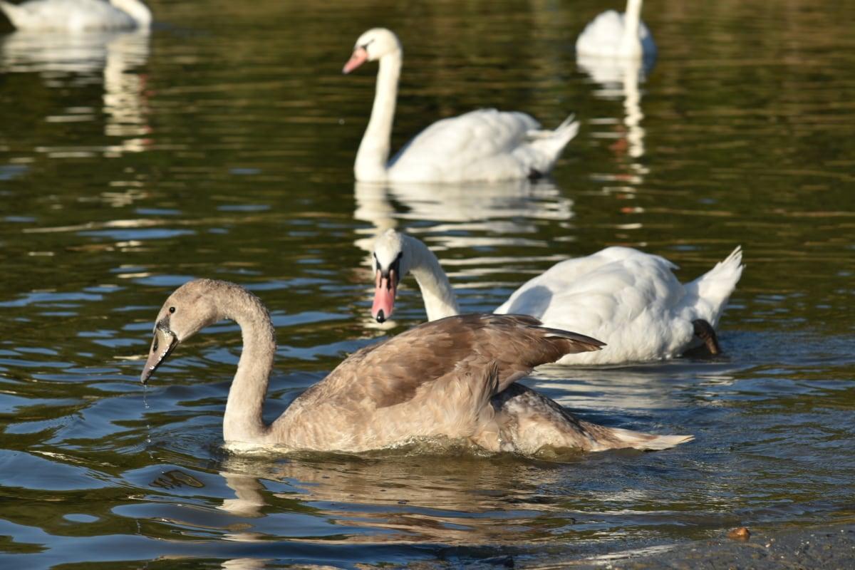 oiseaux aquatique, troupeau, migration, cygne, oiseau, eau, Lac, canard, sauvagine, faune