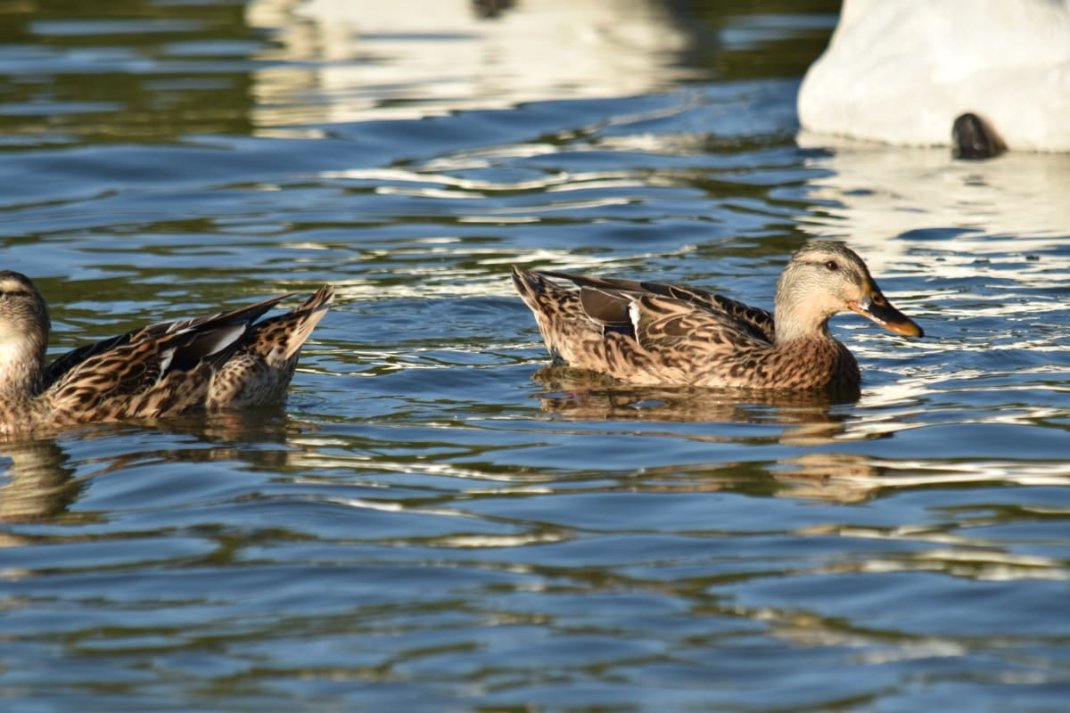 стадо, водолюбивите птици, дива природа, басейн, зеленоглава патица, плуване, птица, вода, патица, патица птица