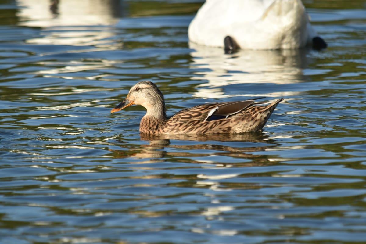 kačica, príroda, reflexie, plávanie, voľne žijúcich živočíchov, voda, pierko, kačacie vták, vták, vodné vtáctvo