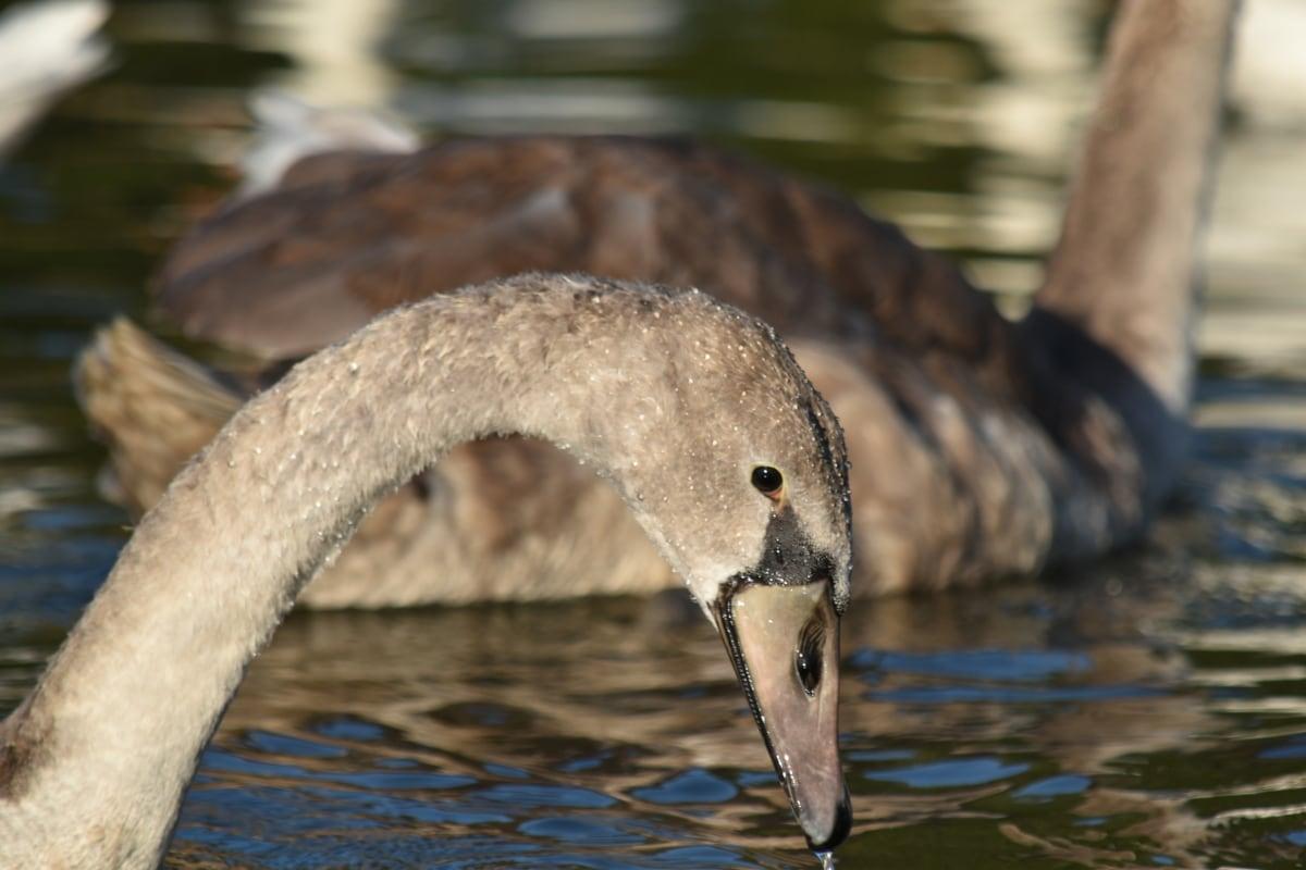 close-up, flock, grey, head, swan, wildlife, bird, water, nature, lake