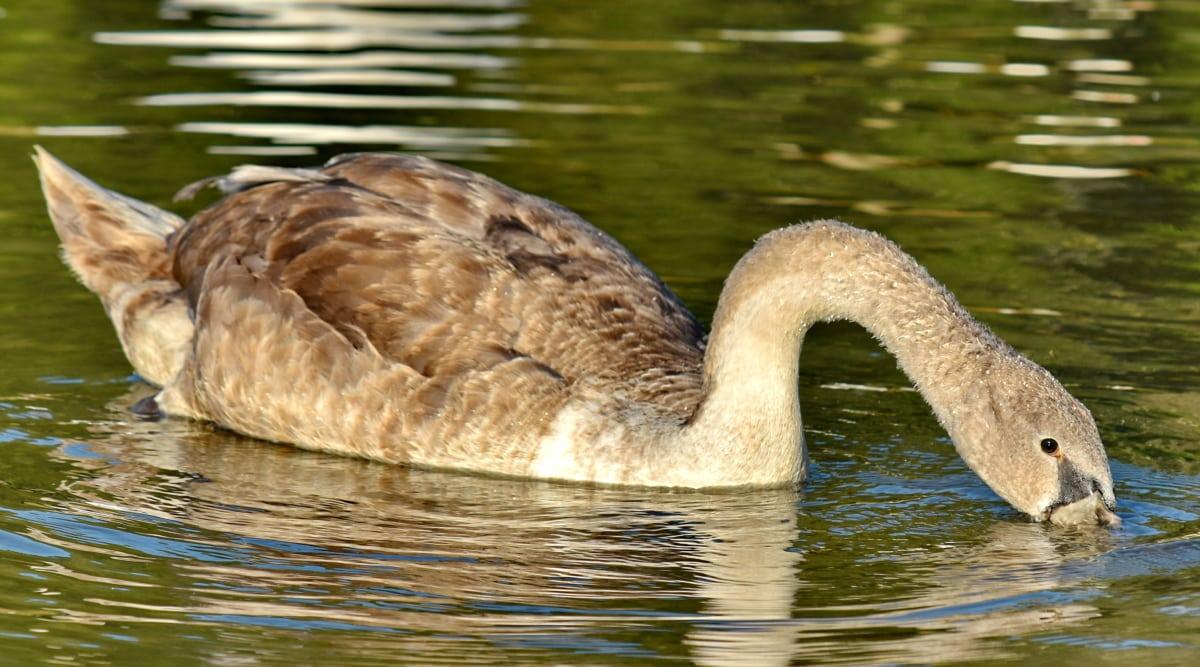 Руководитель, Шея, трубка, Лебедь, вода, Природа, озеро, птица, водные птицы, Дикая природа