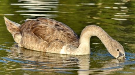 pää, kaula, snorkkeli, joutsen, vesi, Luonto, järvi, lintu, eläintiede, villieläimet