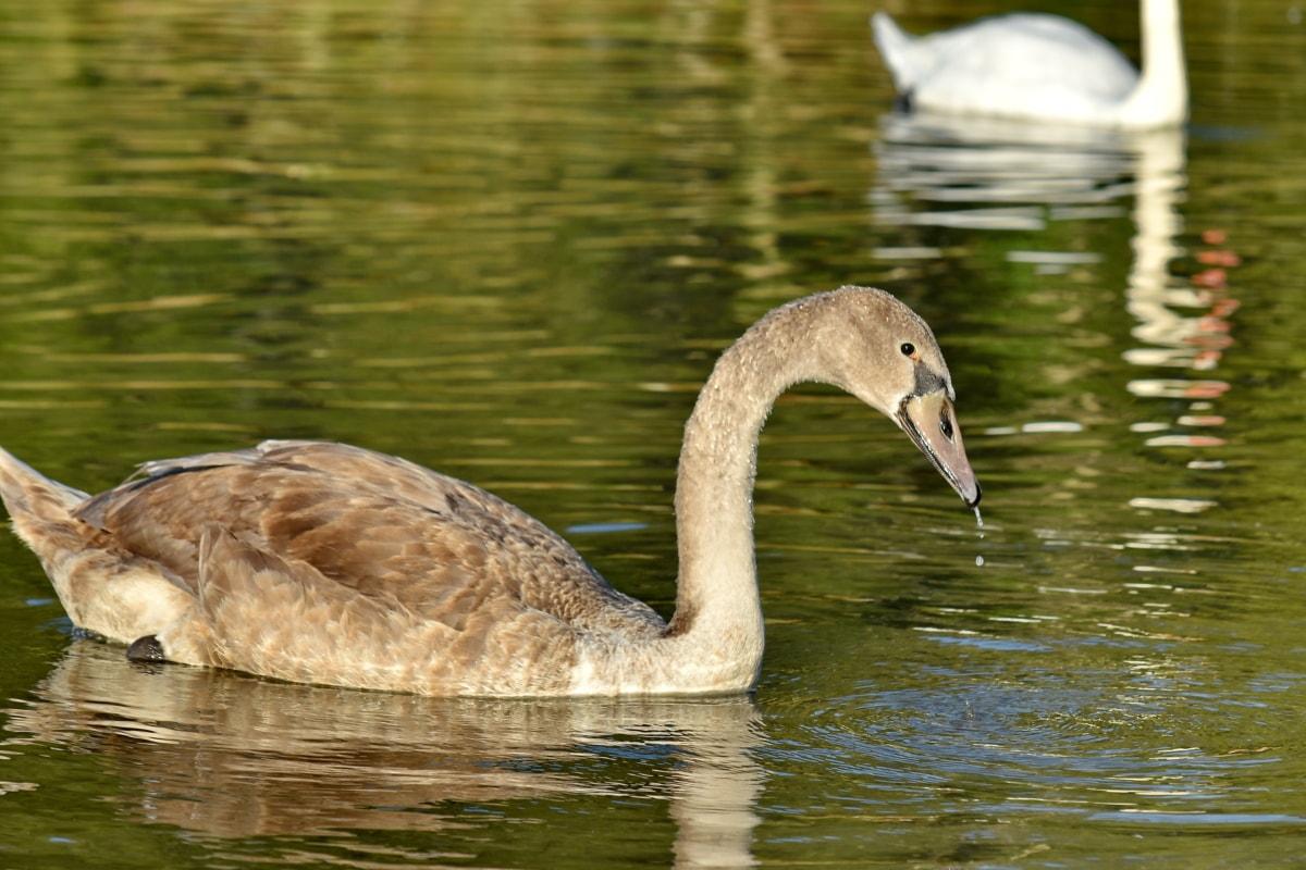 красивые, пейзаж, светло-коричневый, Лебедь, плавание, озеро, Дикая природа, птица, вода, Природа