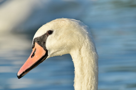 beautiful photo, free image, head, swan, waterdrops, bird, beak, wildlife, aquatic bird, seabird