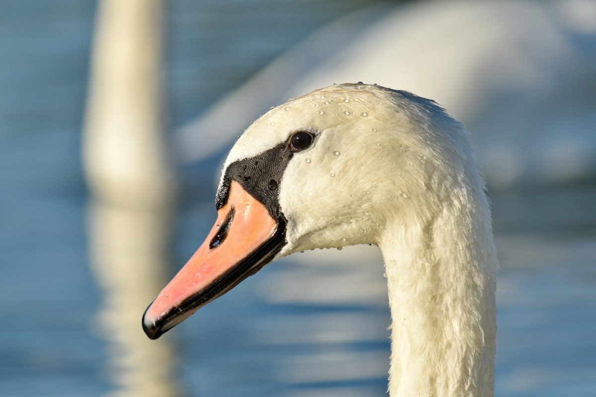 beak, beautiful image, free image, neck, swan, wildlife, waterfowl, aquatic bird, bird, water