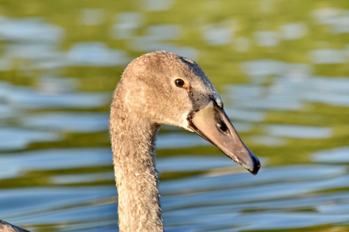 fuglen, stående, siden, svane, unge, basseng, vannfugler, natur, svømming, dyreliv
