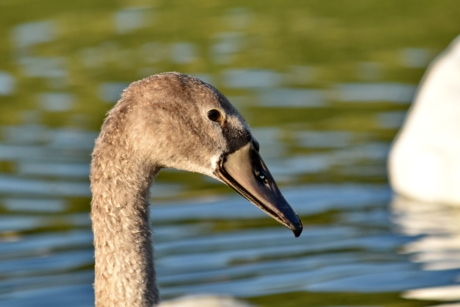 beak, light brown, side view, swan, nature, wildlife, bird, aquatic bird, waterfowl, water