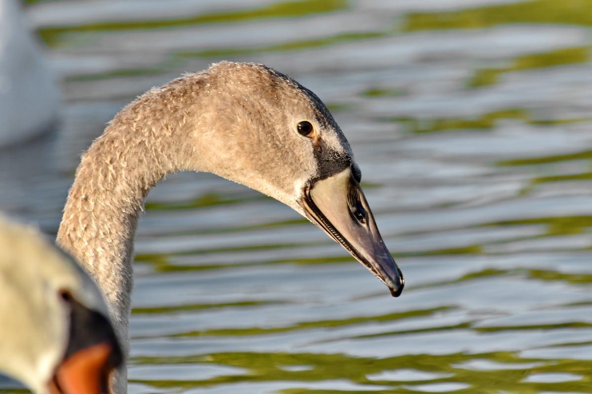 fuglen familie, flokk, svane, fuglen, dyreliv, svømming, natur, innsjø, vannfugler, vann