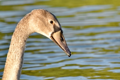 natural habitat, neck, swan, wildlife, young, bird, waterfowl, beak, aquatic bird, nature