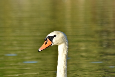 alone, bird, single, swan, aquatic bird, waterfowl, wildlife, nature, lake, water