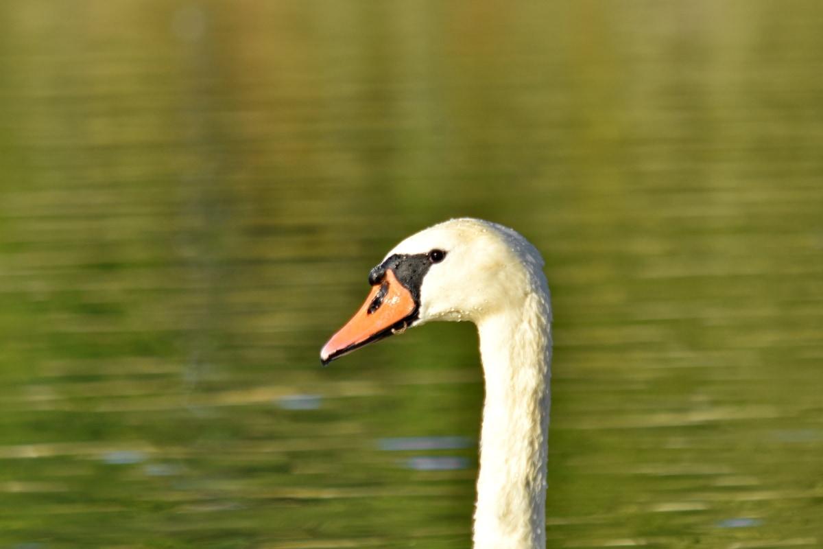 独自, 鸟, 脖子, 天鹅, 野生动物, 性质, 水禽, 水生鸟, 喙, 湖