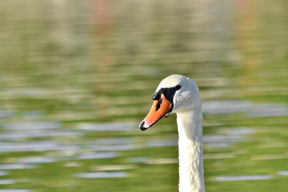 bird, blurry, aquatic bird, water, waterfowl, wildlife, beak, nature, lake, swan