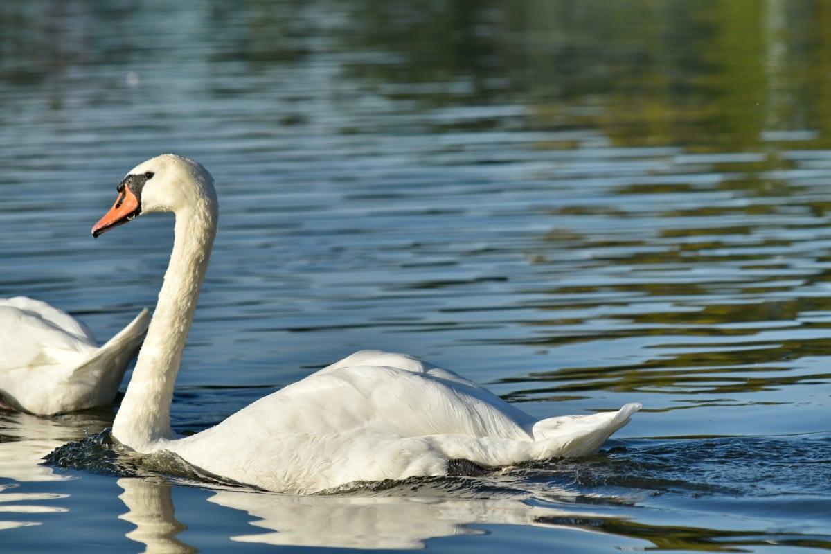 denní světlo, jezera, labuť, plavání, hladina vody, divoká zvěř, pták, voda, Příroda, brodivý pták