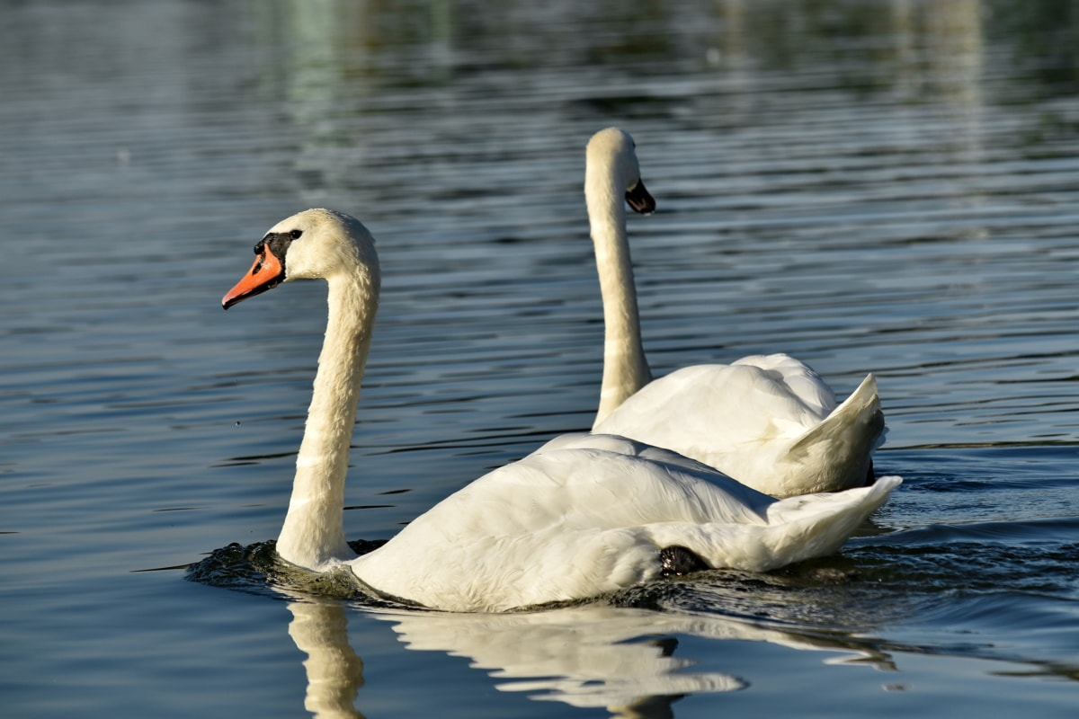 птицы, пара, Романтика, Лебедь, озеро, вода, Дикая природа, птица, водные птицы, водоплавающих птиц