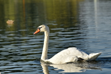 beautiful photo, national park, swan, swimming, waterfowl, bird, water, nature, lake, aquatic bird