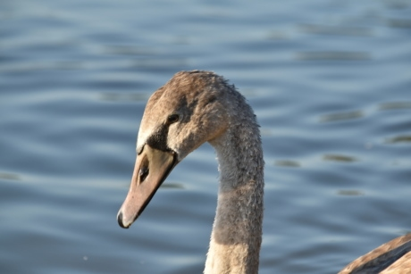 swan, youngster, swimming, wildlife, waterfowl, bird, water, nature, lake, outdoors