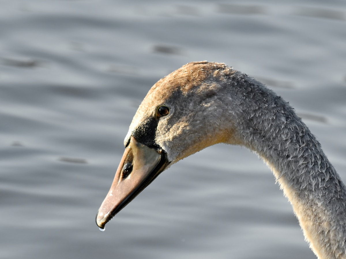 喙, 美丽的照片, 详细信息, 眼睛, 头, 天鹅, 水滴, 湿, 水禽, 性质