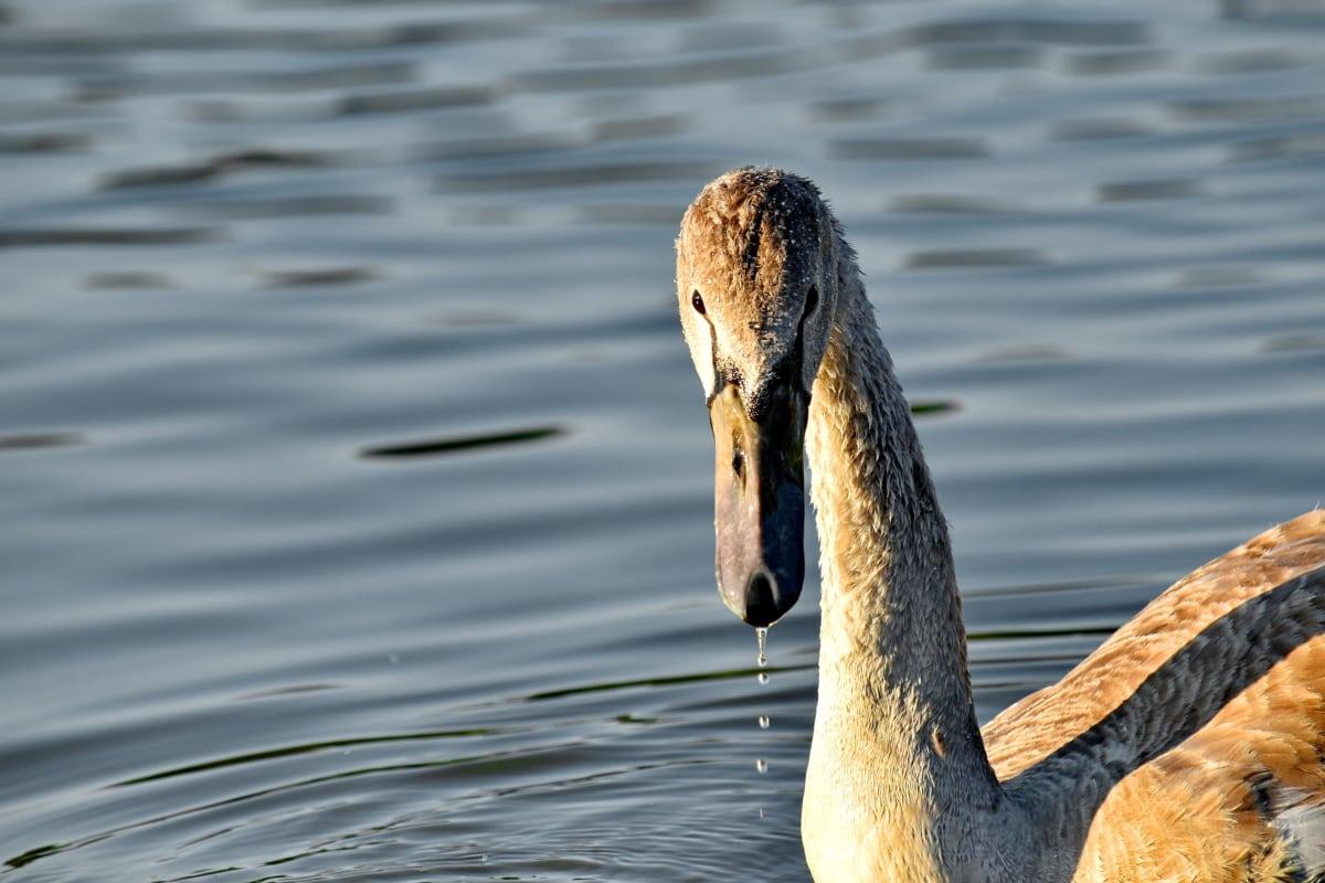 beak, beautiful image, natural habitat, neck, portrait, sunset, swan, waterdrops, wildlife, swimming
