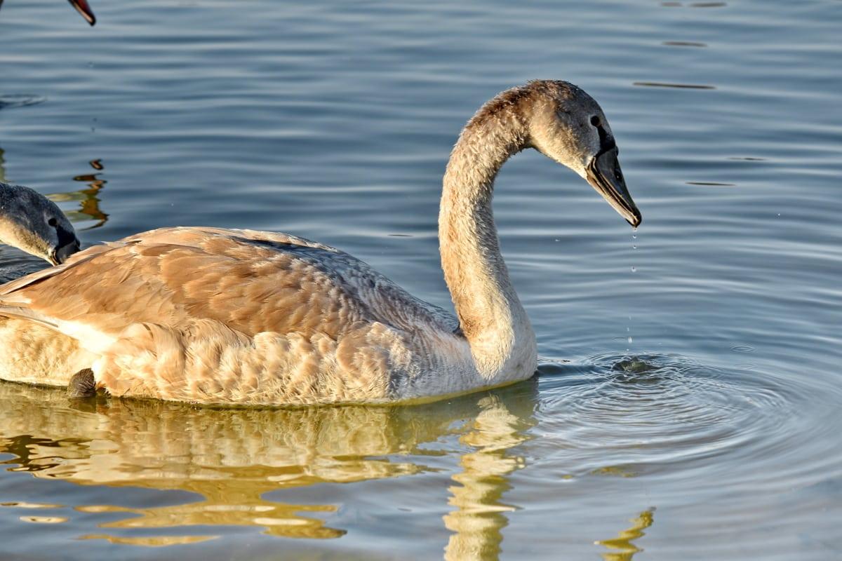 suncevi zraci, sunčano, labud, plivanje, vodene kapi, voda, ptica, ptice vodarice, biljni i životinjski svijet, bazen