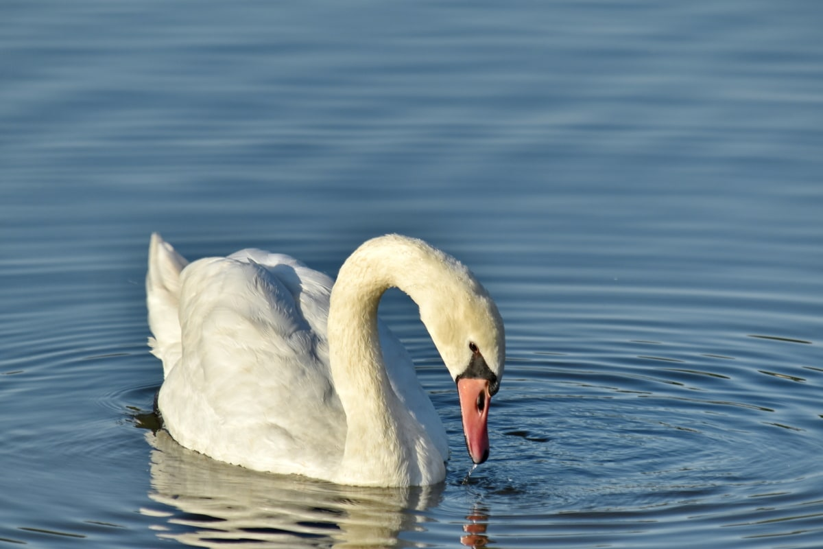 pájaro, Gracia, hábitat natural, cisne, Waterdrops, aves acuáticas, Lago, agua, aves acuáticas, naturaleza