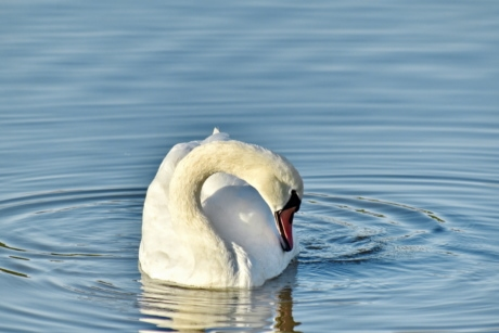 neck, purity, sunshine, swan, waves, animal, aquatic bird, avian, beak, bird