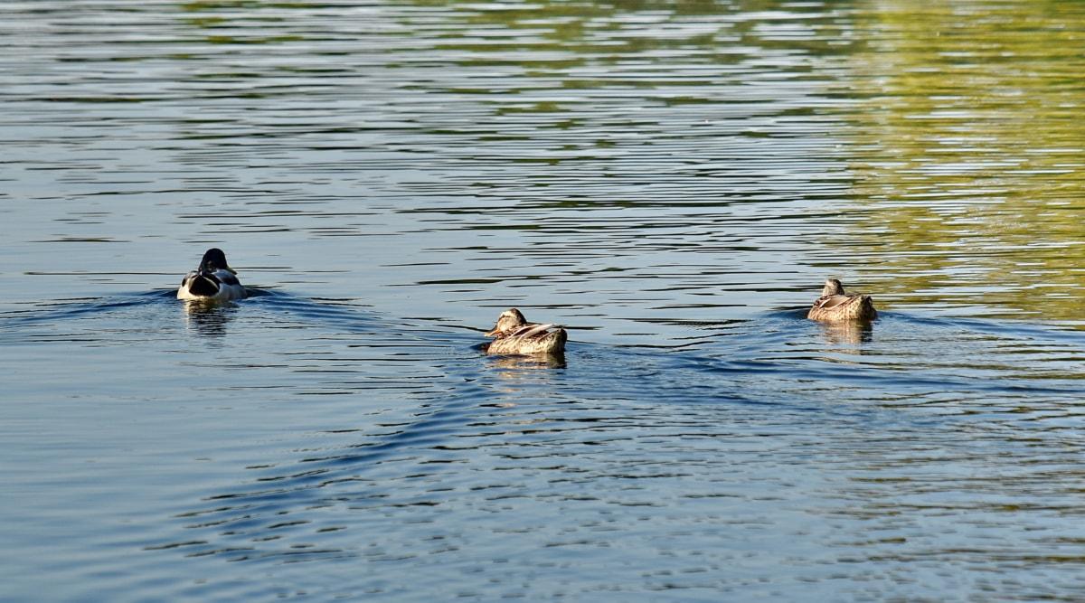 ankat, parvi, Sinisorsa, uinti, kolme, kahlaajalajista, ankka, ranta lintu, lintu, vesi