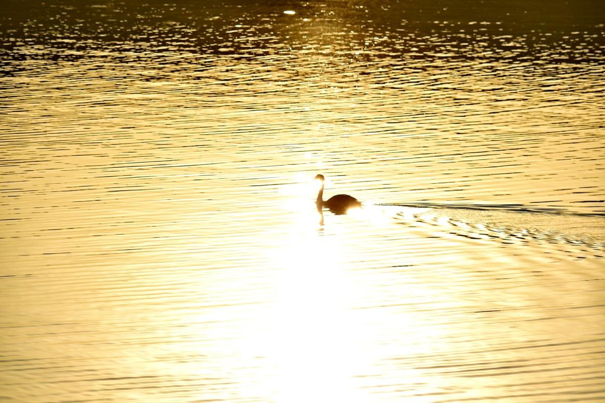 calma, resplandor de oro, sombra, salida del sol, cisne, ondas, pájaro, Lago, agua, reflexión