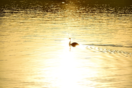 calm, golden glow, shadow, sunrise, swan, waves, bird, lake, water, reflection