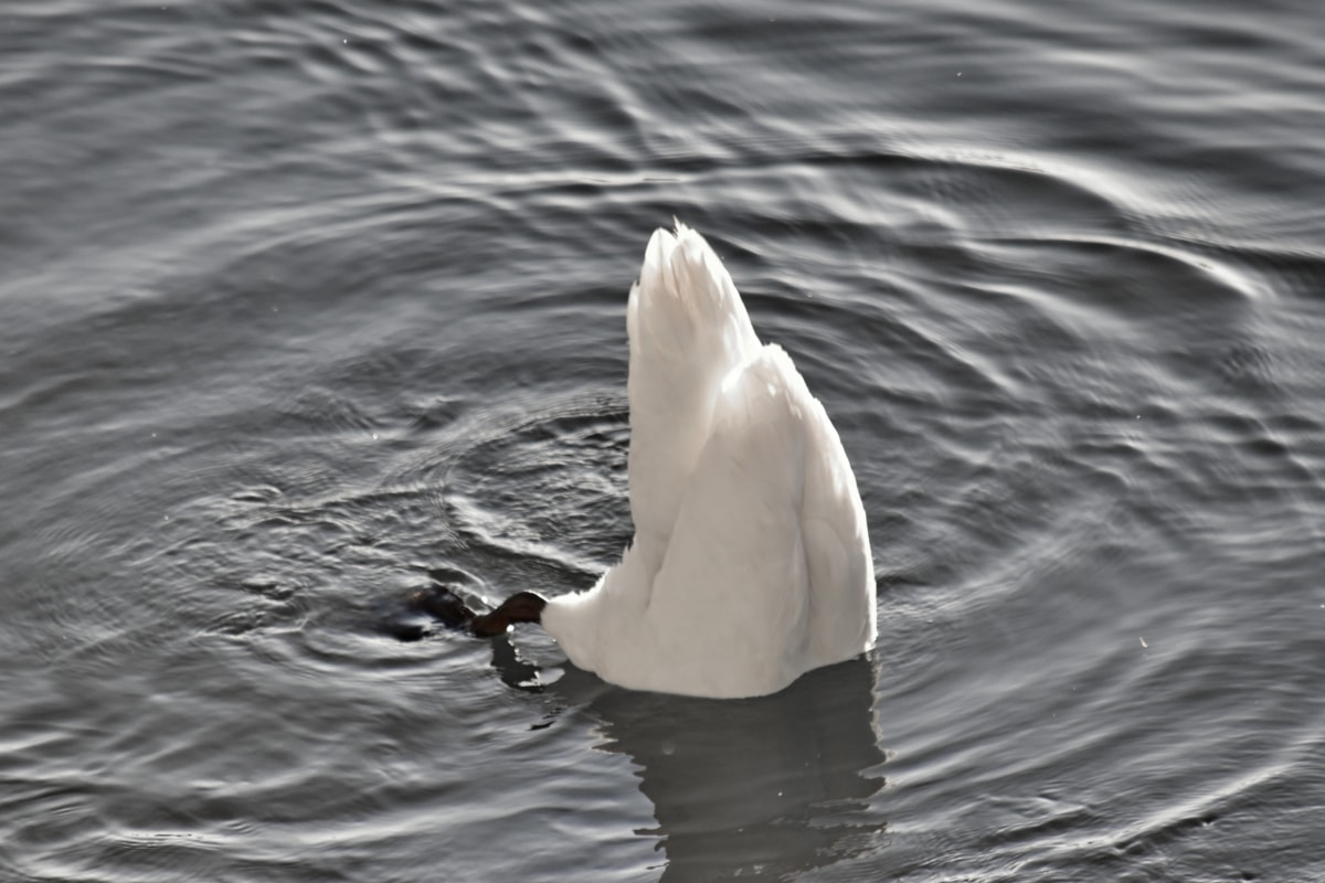 leg, swan, tail, underwater, water, bird, swimming, nature, wildlife, lake