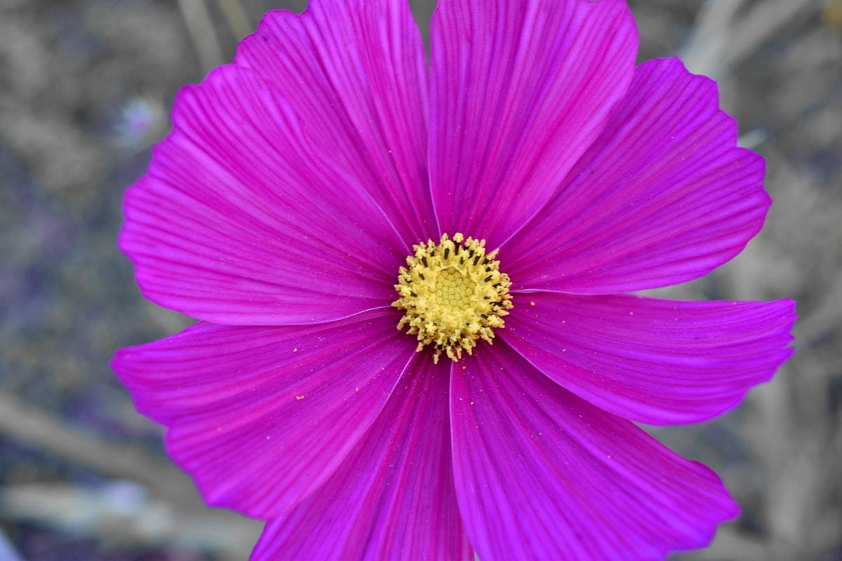 botanika nauka, cvijeće, hortikultura, priroda, svijetle, cvijet, grm, latica, biljka, ljeto