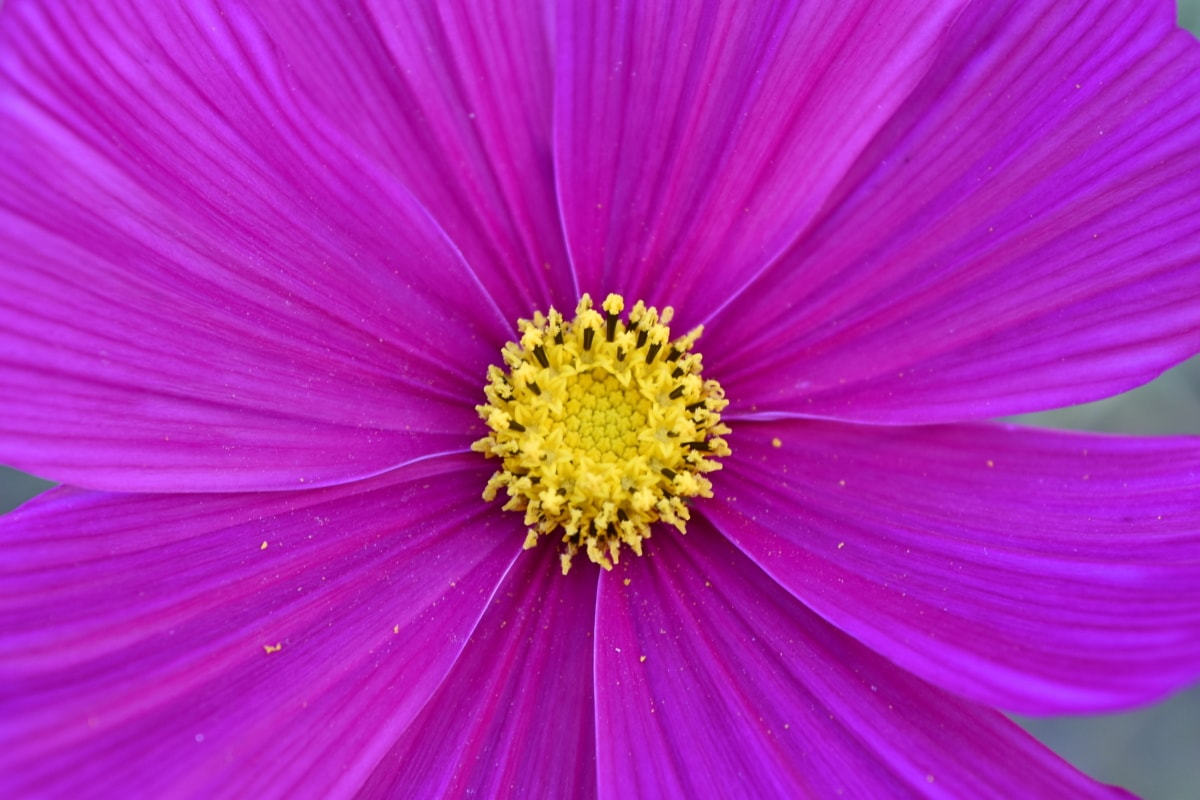 деталь, Садоводство, макрос, лепестки, Пыльца, желтоватый, цветок, завод, сочные, Природа