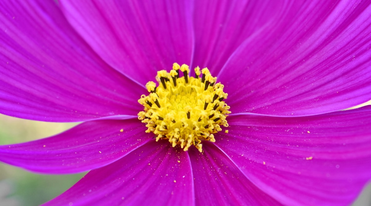 kasvisto, kukka, Luonto, kasvi, päivänkakkara, terälehti, vaaleanpunainen, kesällä, kirkas, väri