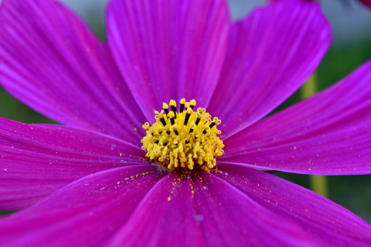 nektar, płatki, różowy, pyłek, kwiat, Latem, roślina, Płatek, Natura, flora