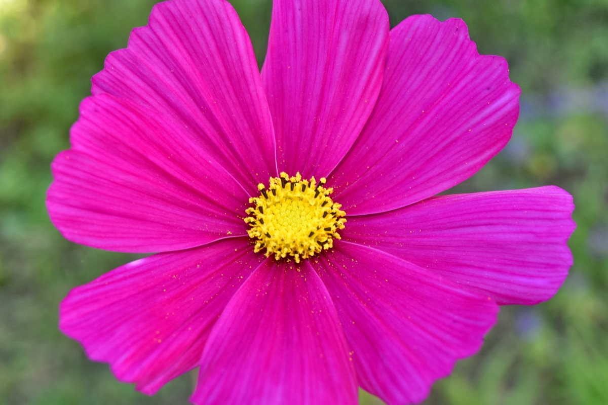 krásne foto, ružovo, rastlín, lupienok, kvet, ružová, príroda, sedmokráska, letné, flóra
