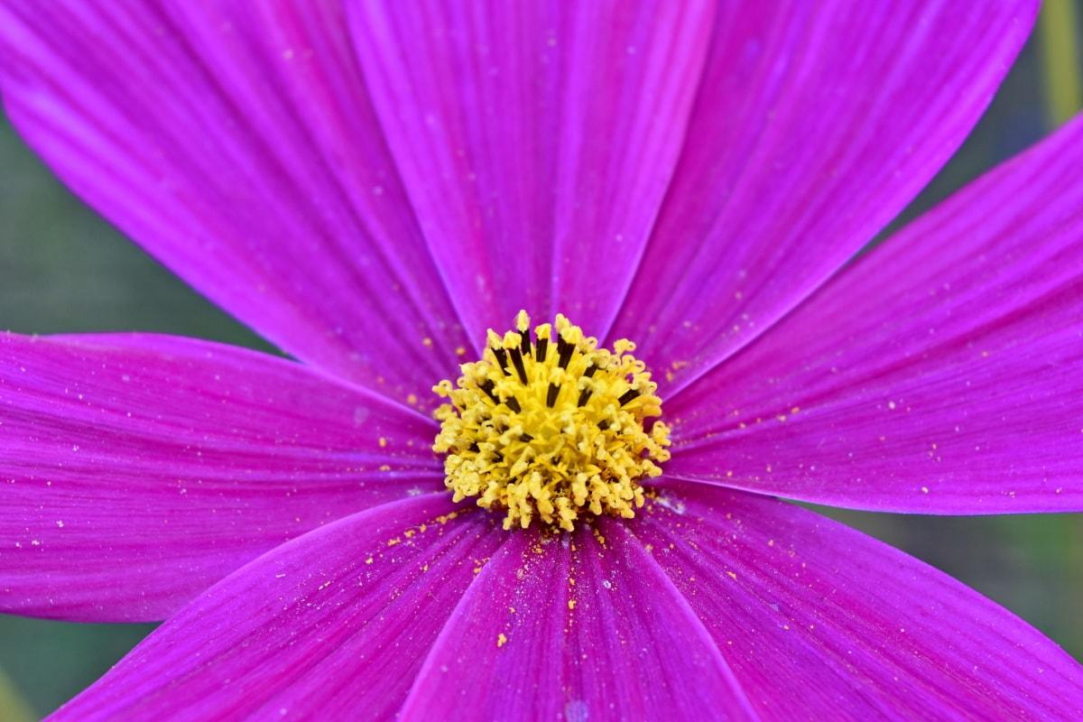 makro, ružová, peľ, sedmokráska, kvet, príroda, lupienok, svetlé, letné, flóra