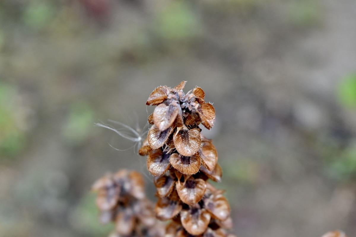 Basilikum, aus nächster Nähe, Details, Trockenzeit, Makro, Natur, Nahansicht, im freien, Flora, trocken