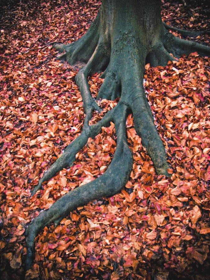 estação Outono, casca, Grande, estação seca, floresta, terreno, folhas, raiz, Outono, raízes