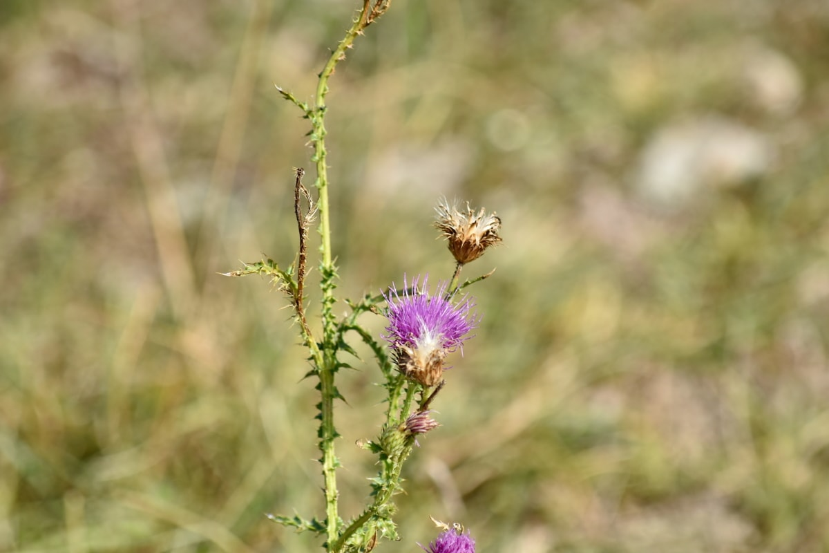 púrpura, sostenido, flores silvestres, planta, hierba, flor, naturaleza, floración, al aire libre, salvaje