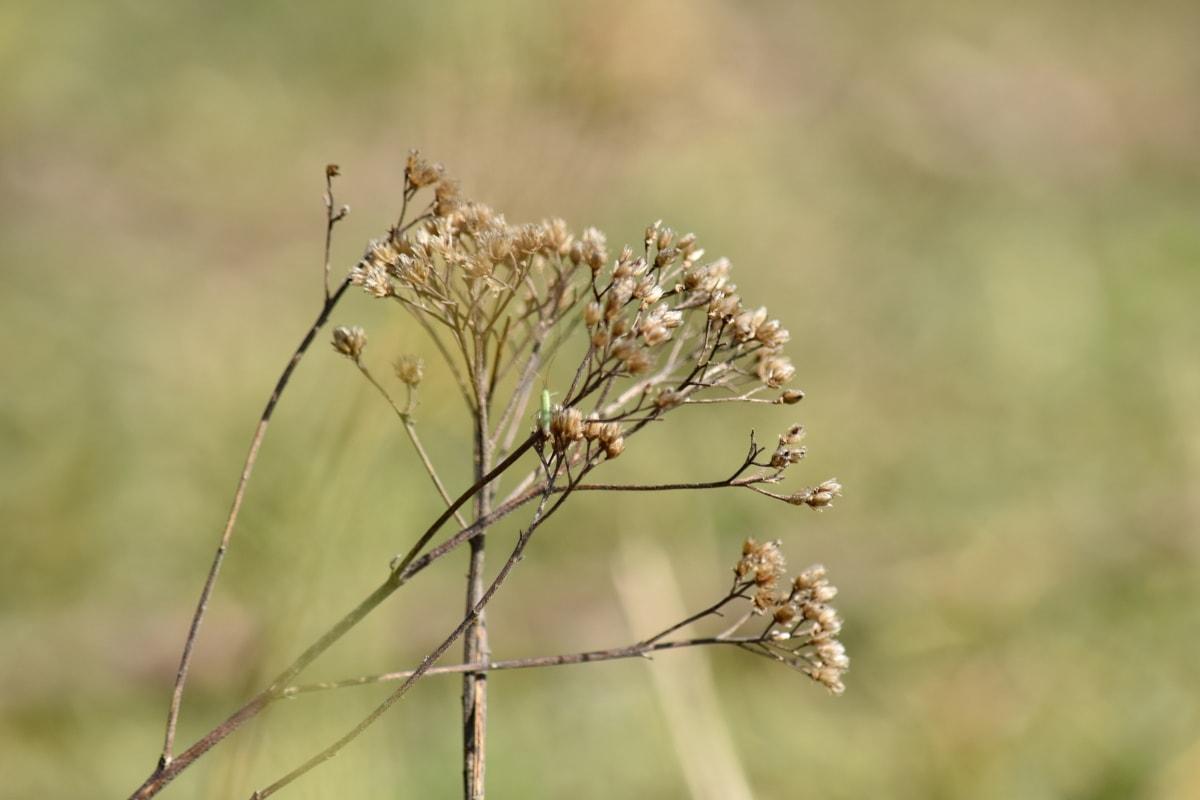 száraz, nyári, gyógynövény, növény, fű, természet, szabadban, Flóra, mező, vadon élő