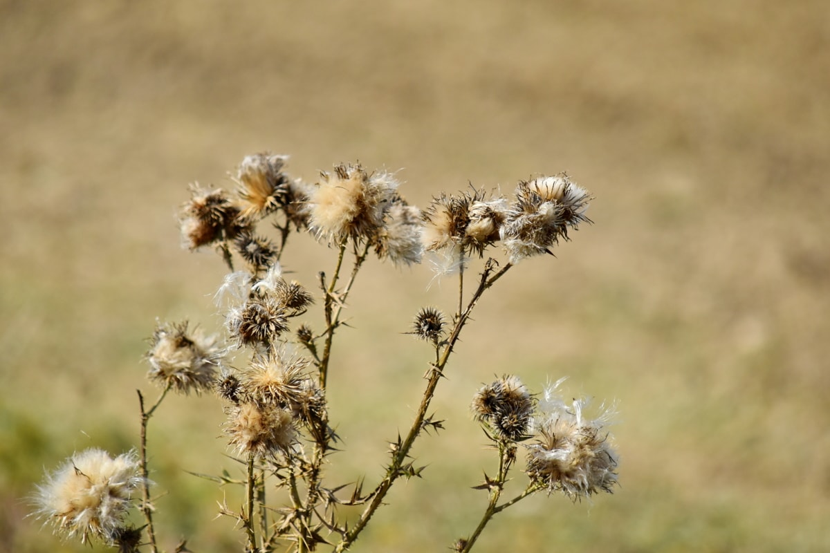 dry, plant, nature, weed, herb, flower, outdoors, grass, flora, summer