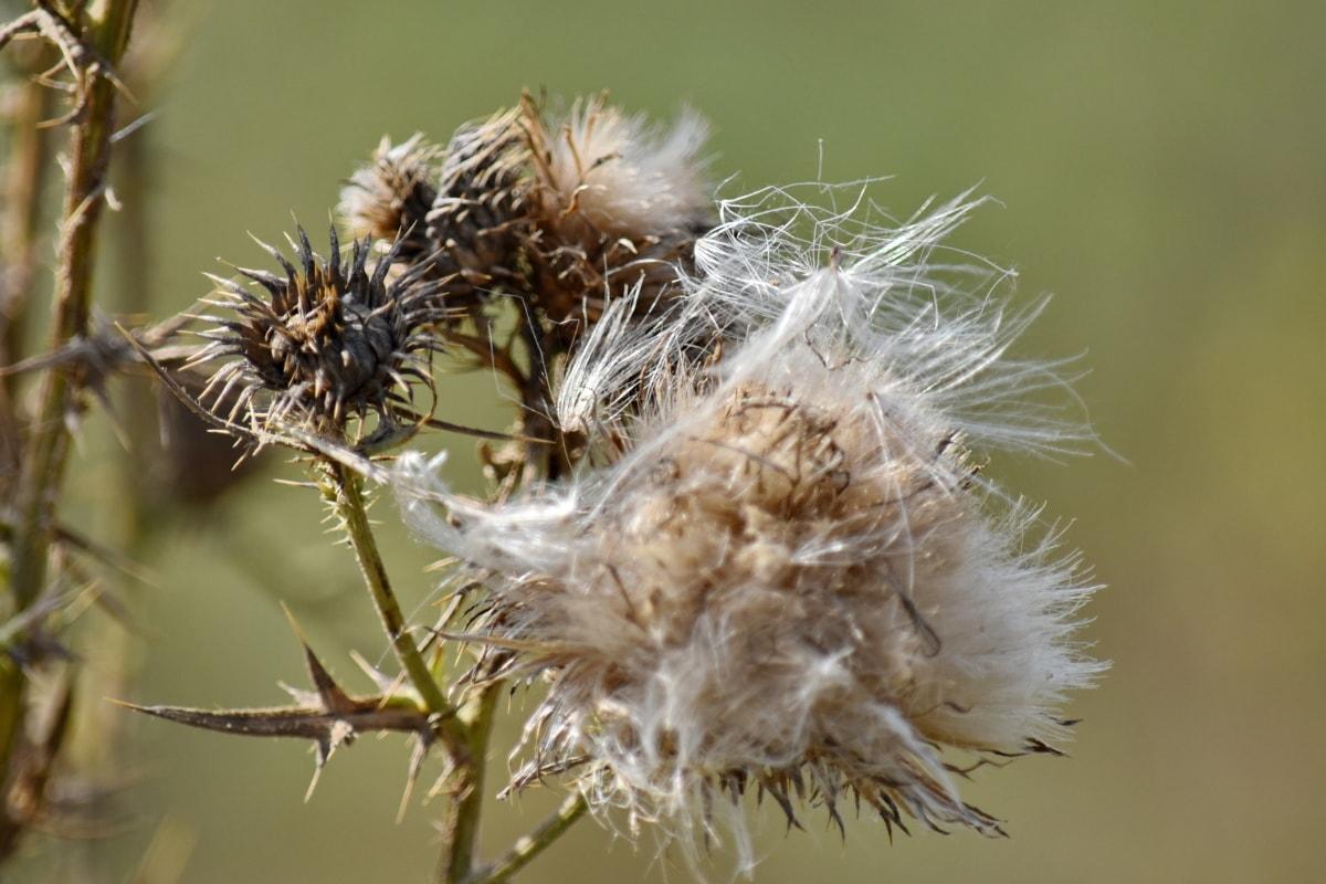sec, herbe, semences, tranchant, été, fleurs sauvages, pissenlit, mauvaises herbes, nature, plante