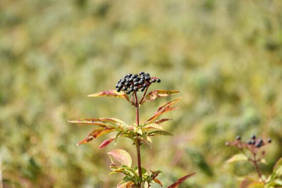 natuur, plant, kruid, insect, zomer, buitenshuis, blad, wild, flora, gras