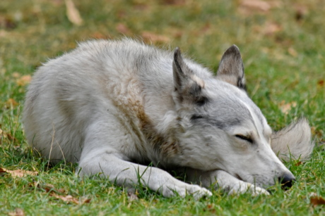 husky, laying, pedigree, sleeping, white, canine, grass, dog, nature, fur