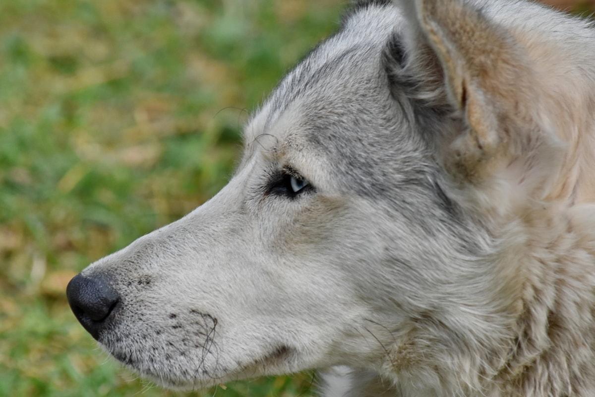 犬, 毛皮, ハスキー, 鼻, 縦方向, 自然, 犬, 動物, かわいい, 目
