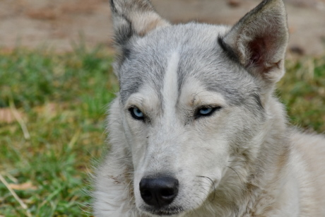 blue, dog, eyes, husky, pedigree, purebred, siberian, animal, canine, portrait