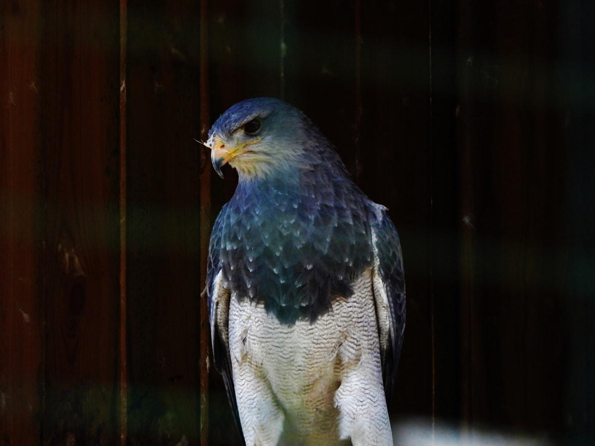 ptica, šareno, Sokol, životinja, pero, biljni i životinjski svijet, kljun, grabežljivac, priroda, ptičje