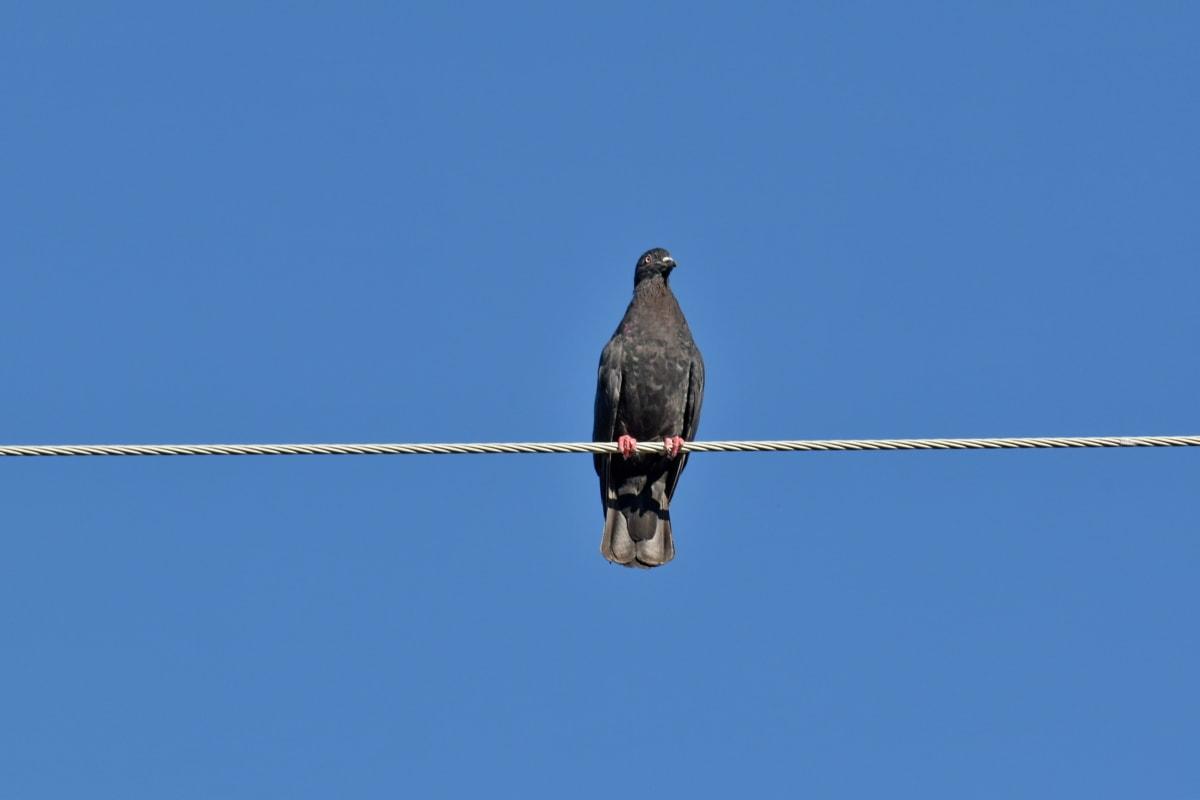 dark blue, fair weather, pigeon, wire, bird, wildlife, nature, outdoors, avian, feather