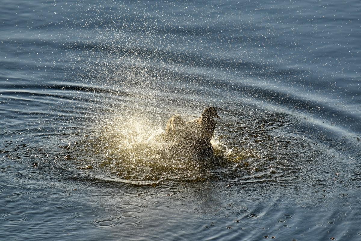 bathing, mallard, natural habitat, swimming, wildlife, water, wave, foam, wet, nature