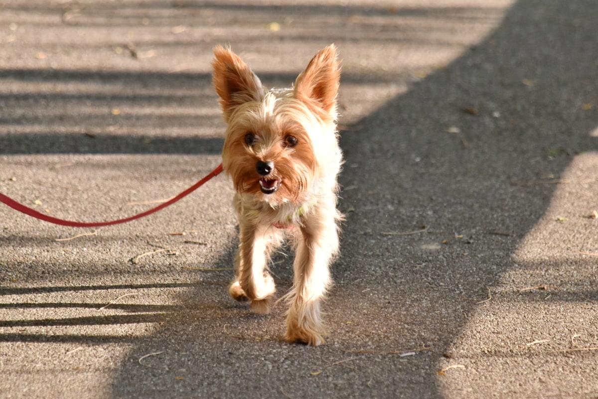σκύλος, ανοιχτό καφέ, κίνηση, πεζοδρόμιο, καθαρόαιμος, λουράκι, περπάτημα, Χαριτωμένο, το κουτάβι, κατοικίδιο ζώο