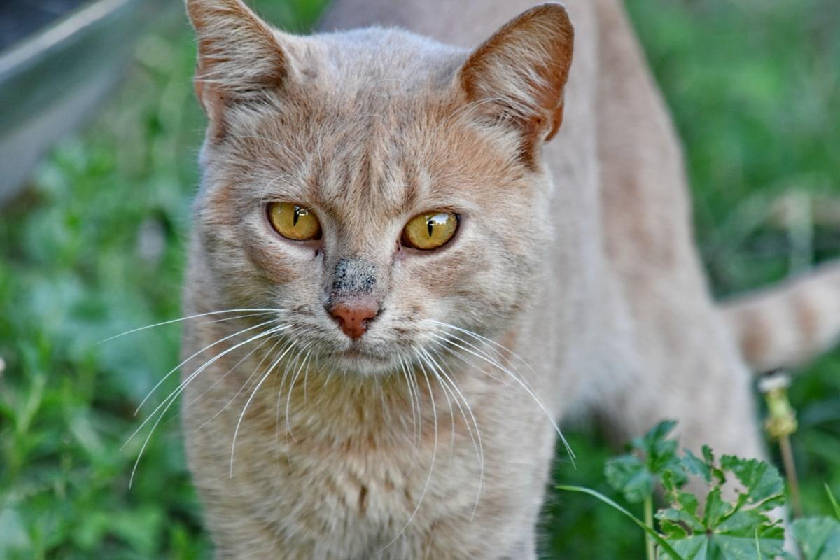 innenlands cat, øyne, lys brun, stående, øye, kattunge, feline, katten, kattunge, dyr